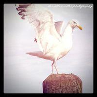 Dancing seagull greenport copy