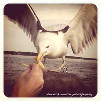 Seagull eating from hand greenport copy