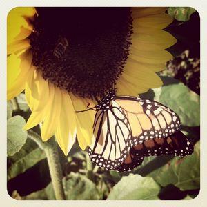 Sunflower & butterfly 10.14.11