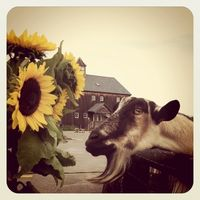 Goat smelling sunflowers