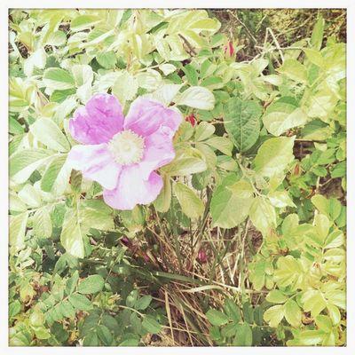 Beach Rose 1