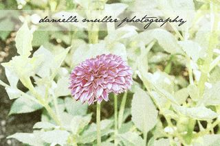 PurpleDahlia