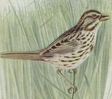 Brown_bird_1