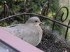 Love_dove_6