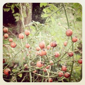 Red berries 10.14.11
