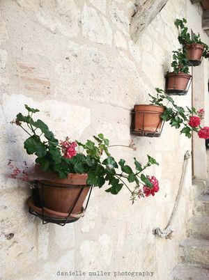 Geraniums on wall