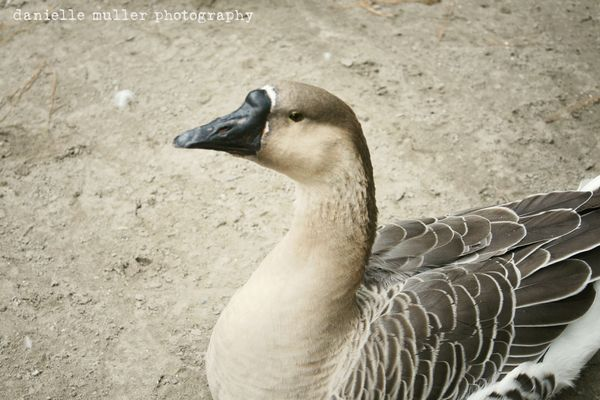 Brown goose 1