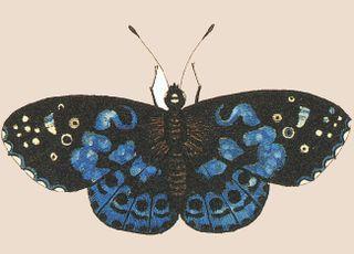 Blue Moth
