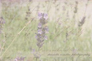 LavenderEdited