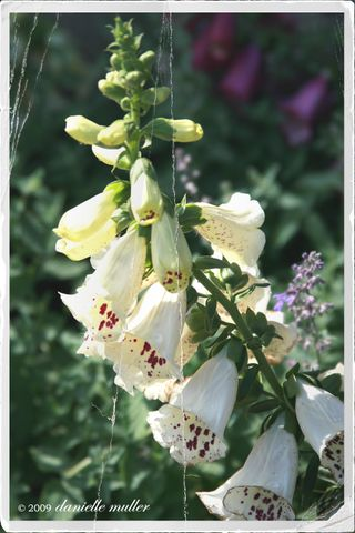 Foxglove White copy