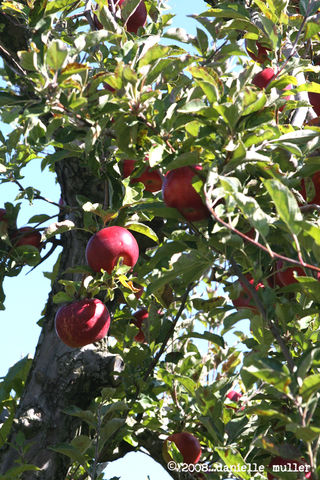 AppleTree1