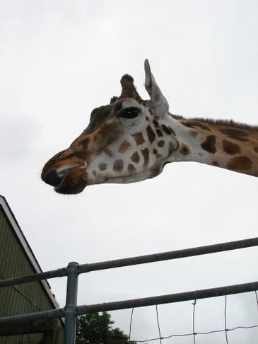 Giraffe_up_close_2