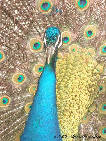 Peacock_copy