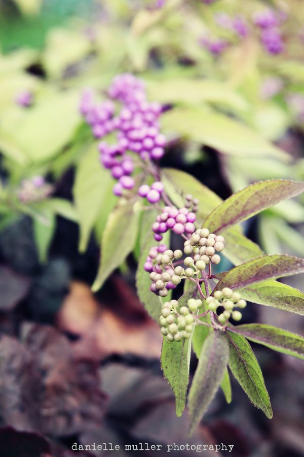 Purple berries 1