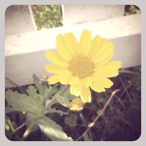 Yellow flower near white picket fence