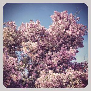 Purple flowers in ca