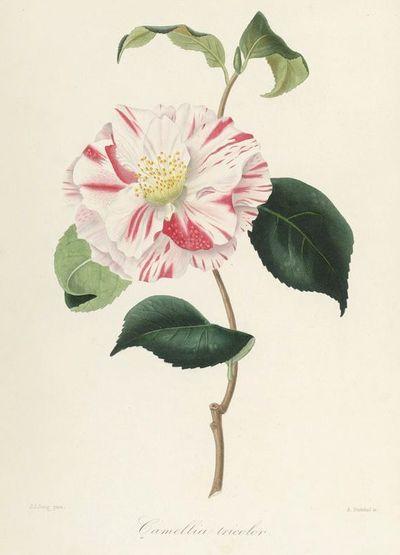 Camellia tricolor plate