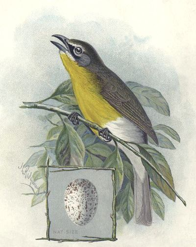 Yellow-breasted-chat-bird-p