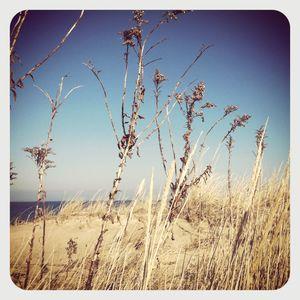 Nissequogue reeds