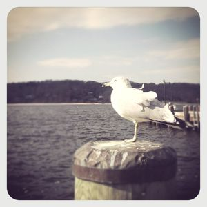 Seagull in northport