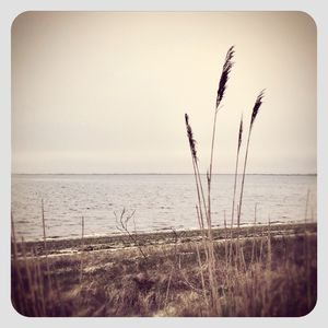 Reeds and horizon