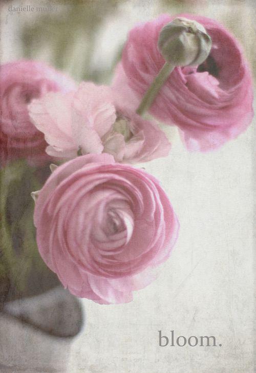 Pink ranacula 1