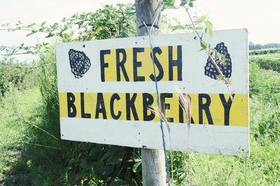 Blackberry picking 6