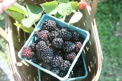 Blackberry picking 8