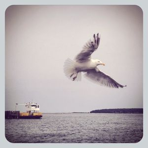 Seagull flying in greenport