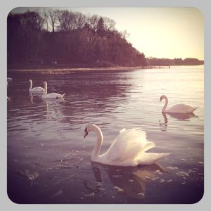 Swans in stony brook