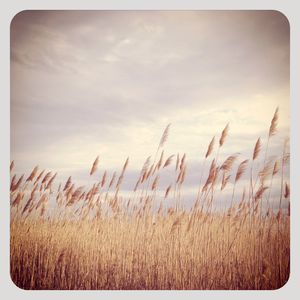Sayville reeds