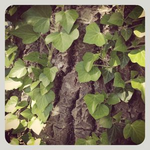 Ivy on tree 3