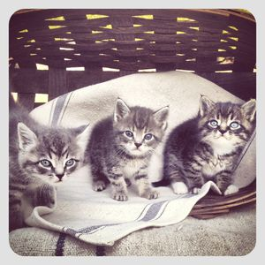 3 kitties in basket