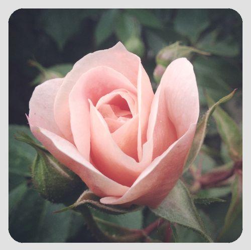 Single rosebud