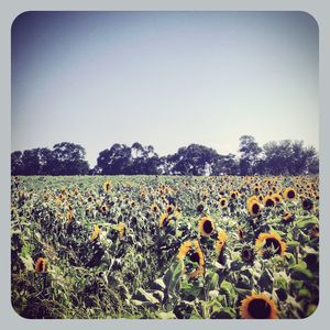 Sunflower field out east