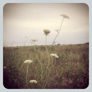 Queen Anne's Lace 1