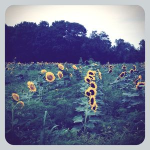 Sunflower field 1
