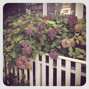 Hydrangeas in nantucket