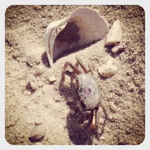 Crab @ sebonac