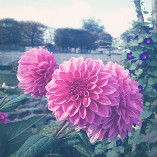 Pink flower @ tuileries garden