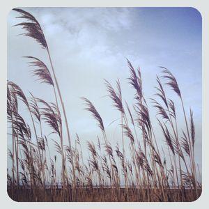 Reeds @ cupsogue