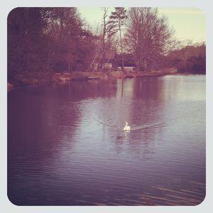 Swan in setauket