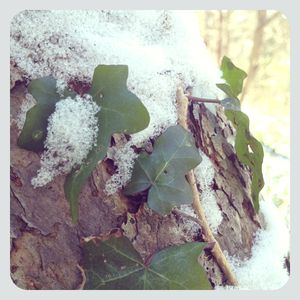 Winter ivy