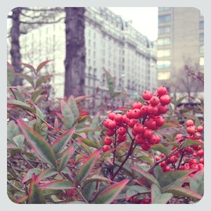 Red berries in washington dc