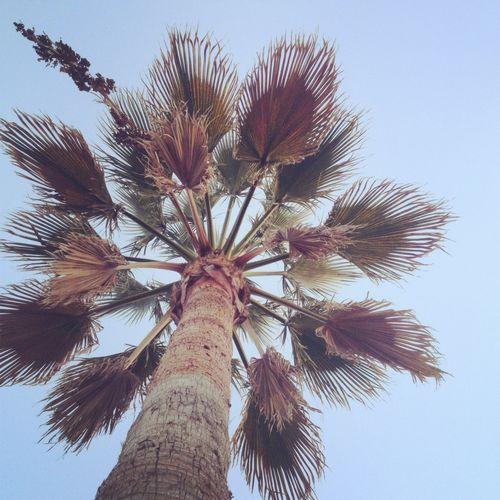 Malibu palm tree