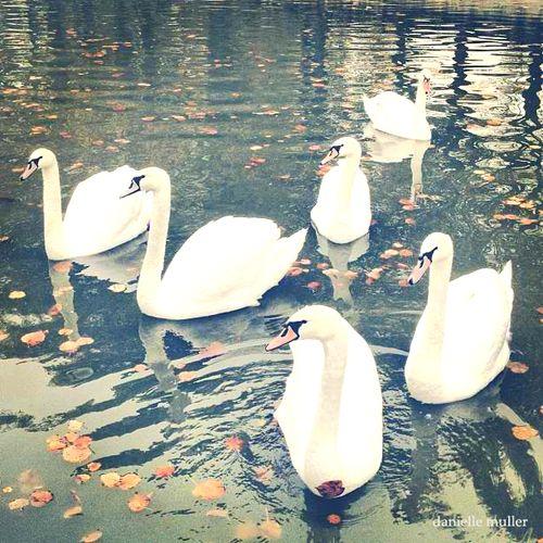 Swans @ Chateau de Bourron