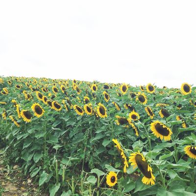 Sunflowers 1